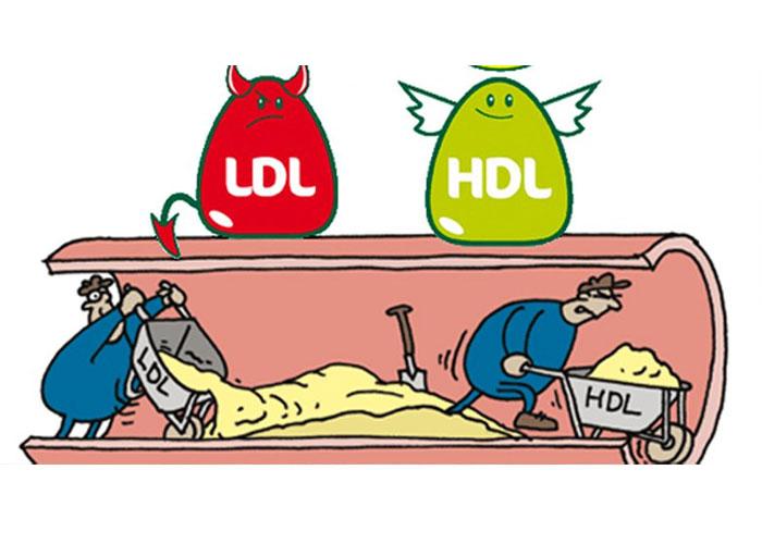Cholesterol có 2 loại LDL và HDL